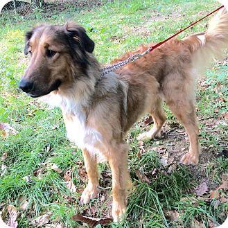 Collie/Golden Retriever Mix Dog for adoption in Powell, Ohio - Shasta