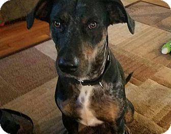 Catahoula Leopard Dog Mix Dog for adoption in Middletown, Rhode Island - Gelato
