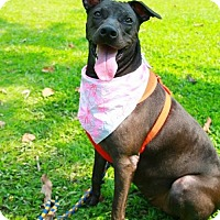 American Bulldog/Labrador Retriever Mix Dog for adoption in San Mateo, California - Freya