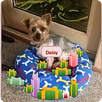 Adopt A Pet :: Daisy - Rootstown, OH