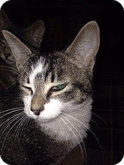 Domestic Shorthair Cat for adoption in Highland, Michigan - Jasper