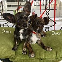 Adopt A Pet :: Olivia (BH) - Santa Ana, CA