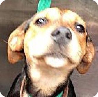 Beagle/Labrador Retriever Mix Puppy for adoption in St Petersburg, Florida - Kelsey!