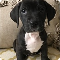 Adopt A Pet :: Phoebe - Nashville, TN