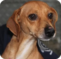 Dachshund Mix Dog for adoption in Russellville, Kentucky - Thunder