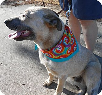 Australian Cattle Dog Mix Dog for adoption in Ormond Beach, Florida - Rusty