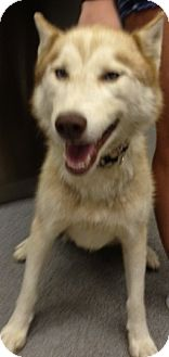 Husky Mix Dog for adoption in Richmond, Virginia - Diesel