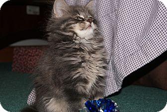 Domestic Longhair Kitten for adoption in Bensalem, Pennsylvania - Dust Bunny