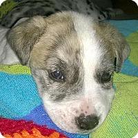 Adopt A Pet :: Ash - Austin, TX