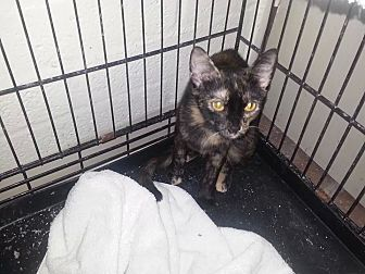 Domestic Shorthair Cat for adoption in Scottsdale, Arizona - Willow