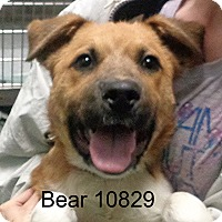 Adopt A Pet :: Bear - baltimore, MD