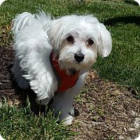 Adopt A Pet :: Cassious-Adoption pending - Bridgeton, MO