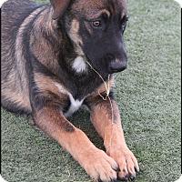 Adopt A Pet :: Zeus - Rockwall, TX