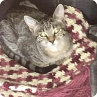 Adopt A Pet :: Stripey - Middletown, OH