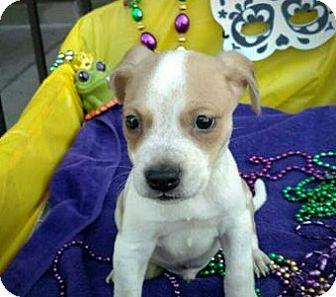 Blue Heeler/German Shepherd Dog Mix Puppy for adoption in Des Moines, Iowa - Cajun