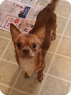 Chihuahua Mix Dog for adoption in St. Catharines, Ontario - Latte