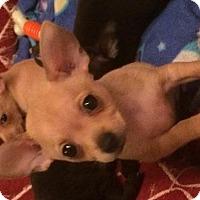 Adopt A Pet :: Gizmo - Davie, FL