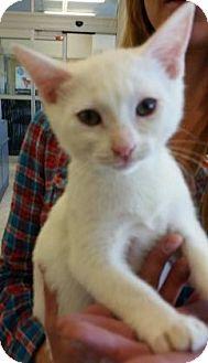 Domestic Shorthair Kitten for adoption in Orlando, Florida - Kotton