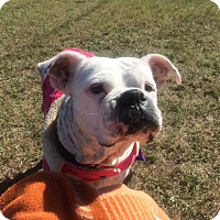 Boxer Dog for adoption in Austin, Texas - Missy Tekken