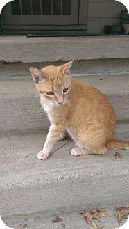 Domestic Shorthair Cat for adoption in Mayflower, Arkansas - Chester