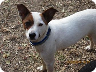 Jack Russell Terrier/Feist Mix Dog for adoption in Rutherfordton, North Carolina - SASSIE