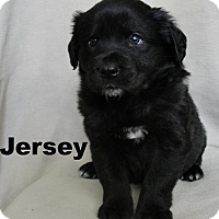 Border Collie/Retriever (Unknown Type) Mix Puppy for adoption in Fowlerville, Michigan - Jersey