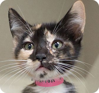 Domestic Shorthair Cat for adoption in Redwood City, California - Shiloh