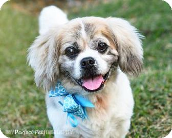 Shih Tzu Mix Dog for adoption in Miami, Florida - Bobo