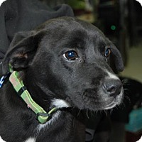 Adopt A Pet :: Ears - Brooklyn, NY