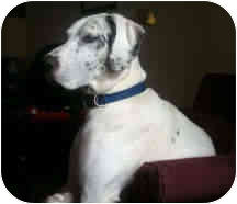 Great Dane Dog for adoption in Columbus, Ohio - Grace