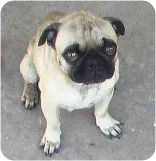 Pug Dog for adoption in Norman, Oklahoma - Iggy