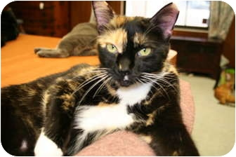 Calico Cat for adoption in Bonita Springs, Florida - Sunny
