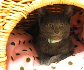 Domestic Shorthair Kitten for adoption in Lunenburg, Massachusetts - Fancy #2
