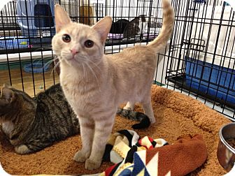 Colorpoint Shorthair Kitten for adoption in Speonk, New York - Skye
