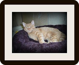 Domestic Shorthair Kitten for adoption in Medford, Wisconsin - RONALD