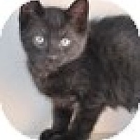 Adopt A Pet :: Snuggles - Vancouver, BC