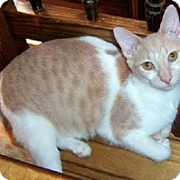 Domestic Shorthair Cat for adoption in Tyler, Texas - A-Rocky