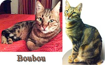 Egyptian Mau Cat for adoption in Marion, Connecticut - BOUBOU