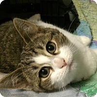 Adopt A Pet :: Purrcy - East Brunswick, NJ