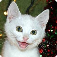 Adopt A Pet :: Snow Pack kitties (male) - Fairfax, VA