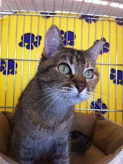 Domestic Shorthair Cat for adoption in Sacramento, California - Dinah M