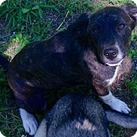 Catahoula Leopard Dog/Hound (Unknown Type) Mix Puppy for adoption in Hartford, Connecticut - Snickers