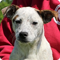 Adopt A Pet :: Albie - Glastonbury, CT