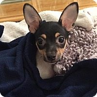 Adopt A Pet :: Nepal - Fort Lauderdale, FL