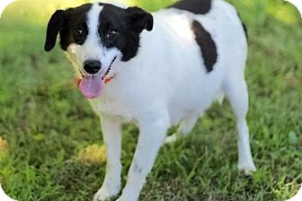 Jack Russell Terrier Mix Dog for adoption in Franklin, Tennessee - PREGNANT -NEEDS FOSTER ASAP!