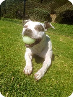 American Bulldog/Boxer Mix Dog for adoption in Dana Point, California - Sedona