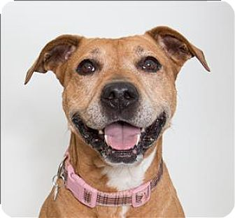 Boxer/Labrador Retriever Mix Dog for adoption in San Luis Obispo, California - Kibbs