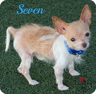 Chihuahua Mix Dog for adoption in Youngwood, Pennsylvania - Seven