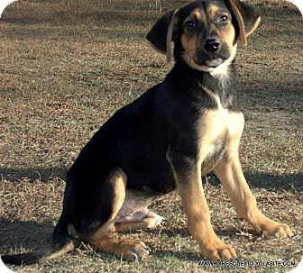 German Shepherd Dog Mix Puppy for adoption in PRINCETON, Kentucky - KENTUCKY/ADOPTED