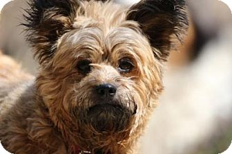 Cairn Terrier/Yorkie, Yorkshire Terrier Mix Dog for adoption in Flushing, New York - Marge